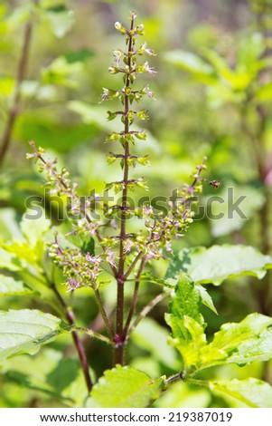 basil flower plant  - stock photo