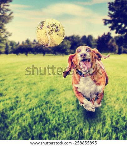 basset hound running to try and catch a tennis ball in mid-air toned with a retro vintage instagram filter app or action effect (focus on the ball) VERY shallow depth of field - stock photo