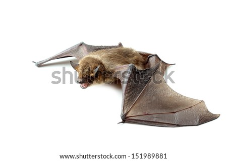 bat with open wings on white - stock photo