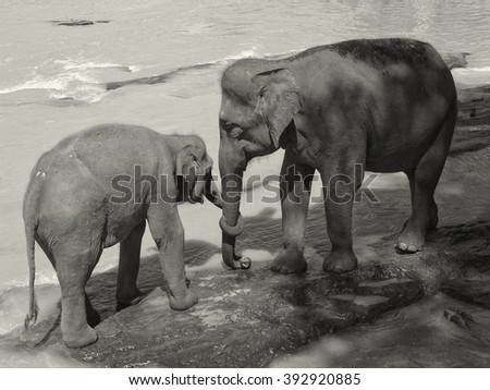 Bathing elephants, Sri Lanka                              - stock photo