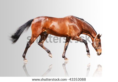 bay stallion isolated on gray - stock photo