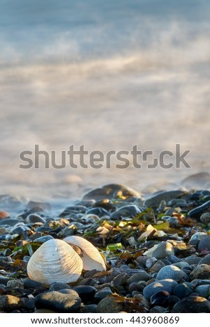 Beach Shell. A clam shell on a rocky, Pacific Northwest beach.                         - stock photo