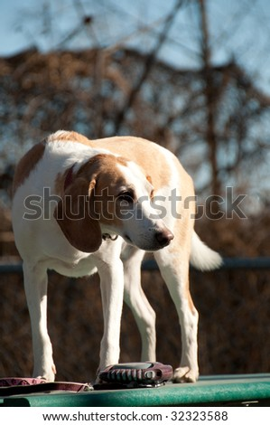 Beagle harrier puppy on a table in a park, Quebec country, Canada - stock photo