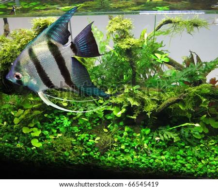 Beautiful aquarium fish - stock photo