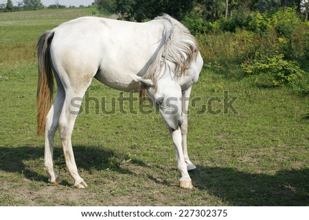 Beautiful arabian white horse grazing in the summer meadow. Gray stallion grazing in the field - stock photo
