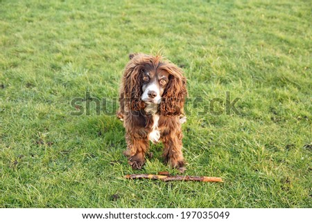 Beautiful brown working Cocker Spaniel, lay on grass with stick - stock photo