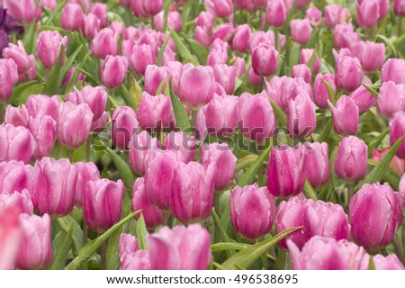 Beautiful colorful tulips  in spring.