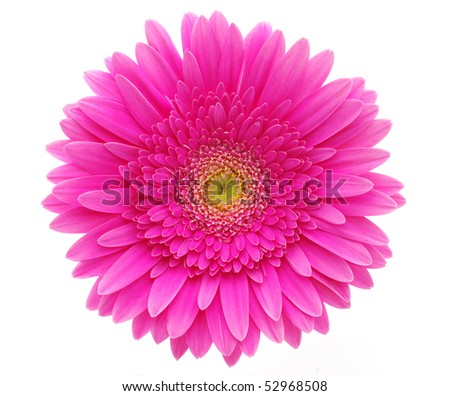 beautiful gerbera - stock photo