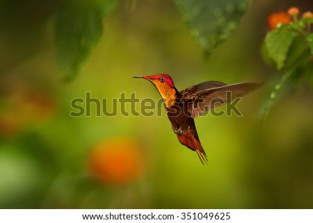 Beautiful golden-orange throated hummingbird Ruby-Topaz Hummingbird Chrysolampis mosquitus hovering over red flowers. Blurred orange and green background with nice bokeh - stock photo