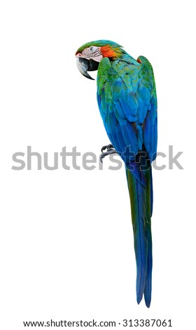 Beautiful Green Macaw bird, Buffon's macaw the exotic parrot bird with full length from head to tail isolated on white background