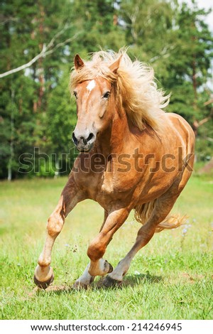 Beautiful horse running on the field in summer  - stock photo