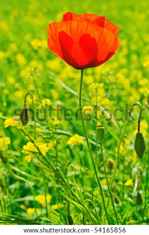 Beautiful landscape with field of red poppies and yellow flowers - stock photo