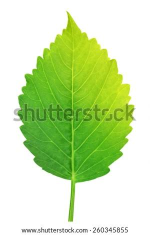 beautiful lush green leaf Isolated on white background - stock photo