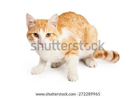 Beautiful orange and while Domestic Shorthair Mixed Breed Cat laying facing forward looking directly into the camera.