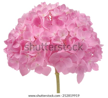 Beautiful Pink Hydrangea Flowers Isolated on White Background  - stock photo