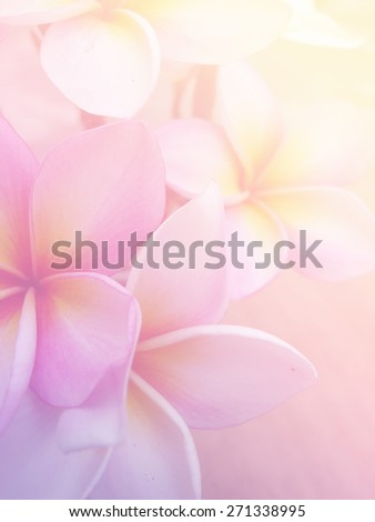 Beautiful Plumeria Frangini Flowers in Soft Focus and Pastel Filtered Image Background Design.
