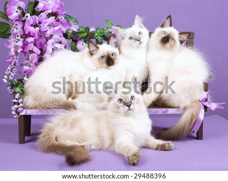 4 beautiful Ragdoll kittens on wooden bench decorated with wisteria flowers blooms on lilac background - stock photo