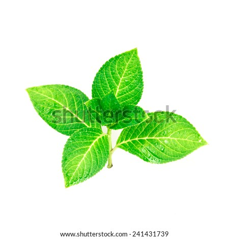 beautiful shape of green leaf  branch on white background