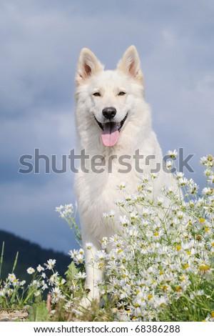 beautiful WHITE GERMAN SHEPHERD DOG  Weisser Schweizer Schäferhund  Berger Blanc Suisse - stock photo