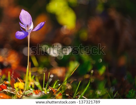Beautiful wild crocus, Colchicum autumnale, flowers in a mountain forest in autumn