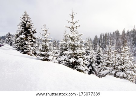 Beautiful winter landscape with conifers