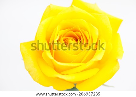 beautiful yellow rose isolated on white - stock photo