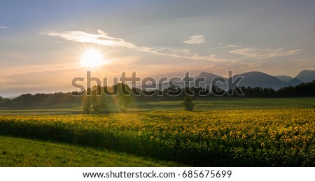 Beautiful yellow sunflowers on a summer sunset in the italian meadows.