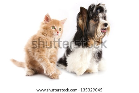beaver  terrier and  kitten - stock photo