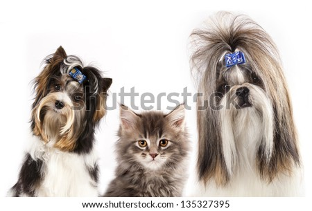 beaver yorkshire terrier, dog of breed shih-tzu and  kitten - stock photo