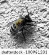bee with varroa parasites - stock photo