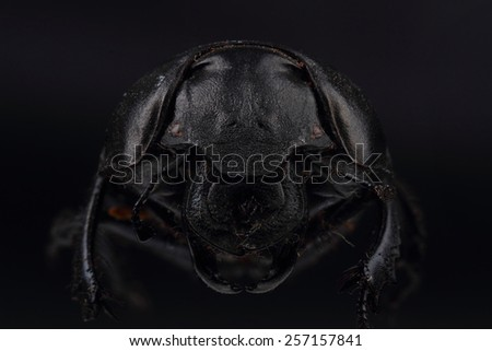 Beetle (Lethrus apterus) on black. Extreme macro - stock photo