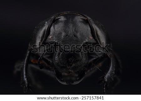 Beetle (Lethrus apterus) on black. Extreme macro - stock photo