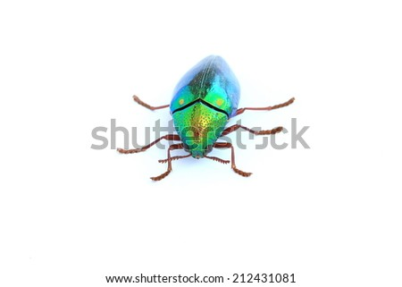beetle with colored armor isolated on white. Sternocera aequisignata  - stock photo