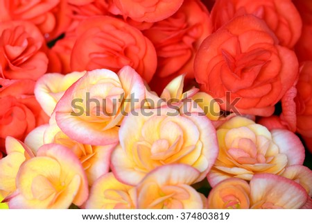 Begonia flower in the garden, at Pra Tum Nak Pupink Royal park Chiangmai, Thailand 2016 - stock photo