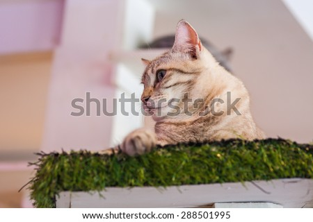 'Bengal' cat is sitting and watching down in calm tone. - stock photo
