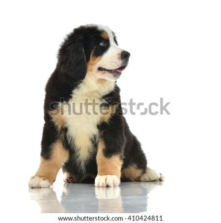 Berner Sennenhund or Bernese Mountain puppy sitting in studio looking at camera isolated on a white background