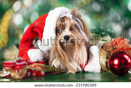 biewer-york puppy with santa hats - stock photo