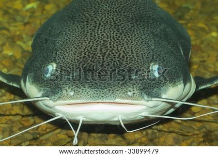 Big Catfish face - stock photo
