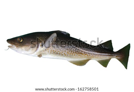 big cod fish on a white background - stock photo