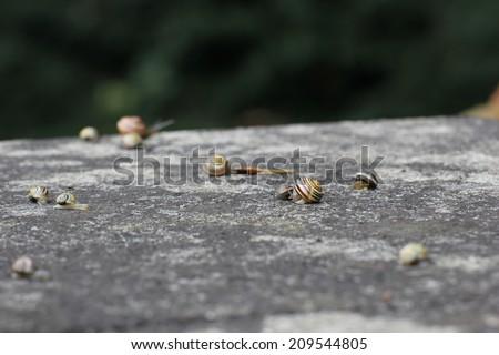 Big group of slugs on a stone in rainy weather. - stock photo