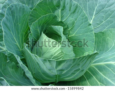 Big plugs of cabbage with green large leaves grows in a kitchen garden a years sunny day - stock photo