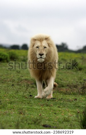 big pure white male lion in this photo taken on safari in Africa. - stock photo