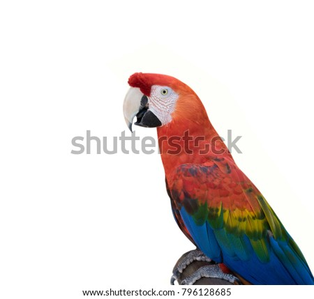Big red macaw parrot isolated. Ara macao.