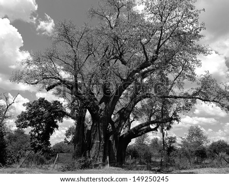 """Big Tree"" - huge baobab in Victoria Falls, Zimbabwe - stock photo"