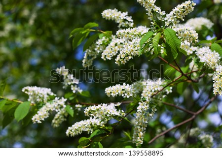 Bird Cherry tree in full bloom at spring garden