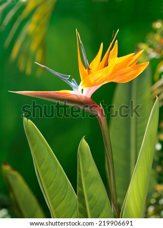 Bird of Paradise flower in natural background. Hawaii, Maui, USA - stock photo