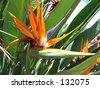 """Bird of Paradise"" Strelitzia Reginae 03 - stock photo"