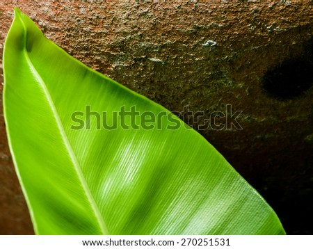 Bird's nest fern leaf - stock photo