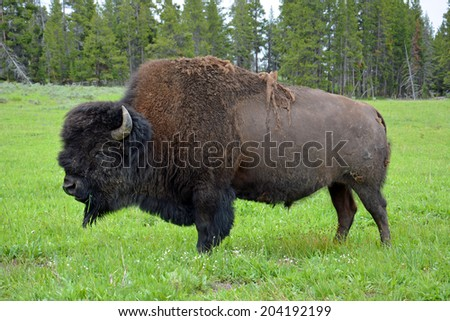 bison grazing near yellowstone lake in yellowstone national park,  wyoming     - stock photo