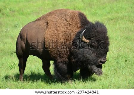 bison in  custer state park, south dakota  - stock photo